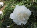 雪山紫玉 (1)