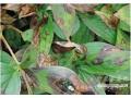 牡丹灰霉病的防治