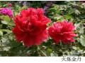 牡丹的形态特征--花