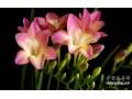 牡丹切花品种的选择