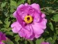天香紫 (2)