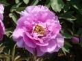 桐花紫 (2)
