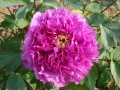 锦袍红 (2)