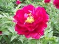 玫瑰红 (2)