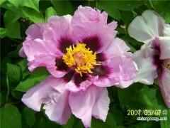 紫斑牡丹野生种分类